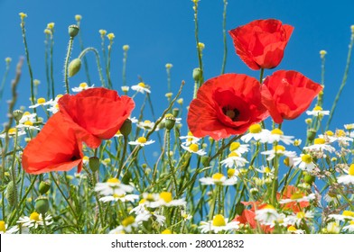 Corn poppy flowers and chamomile blossoms against blue sky
