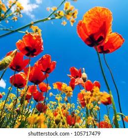 Corn poppy flowers field (Papaver rhoeas) against the blue sky in spring morning