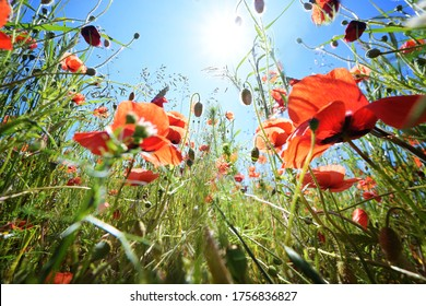Corn poppy (Papaver rhoeas) with vibrant red flowers on a meadow under a sunny blue sky, copy space, low angle view, selected focus, narrow depth of field