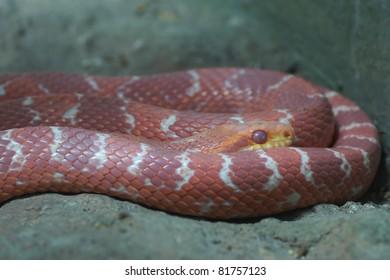 corn red snake