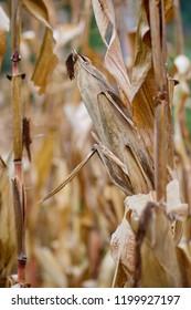 Corn ripe ready to harvest / Organic maize cone in the garden this autumn / Raw bio farming
