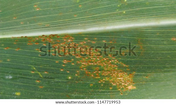 Corn Rust diseases that damage on leaf, close-up.