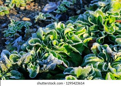 Maissalat im Feld, mit Sonnenlicht und Frost. Fokus eines knusprigen Kopfes Salat in der Mitte. Wintersalat