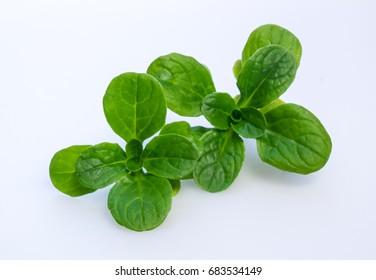 Corn salad isolated on white  - Valerianella locusta known as lamb's lettuce, mache, fetticus, feldsalat, nusslisalat, nut lettuce, rapunzel.