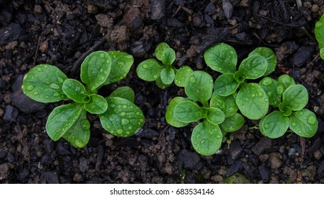 Corn salad with raindrops growing in soil - Valerianella locusta known as lamb's lettuce, mache, fetticus, feldsalat, nusslisalat, nut lettuce, rapunzel.
