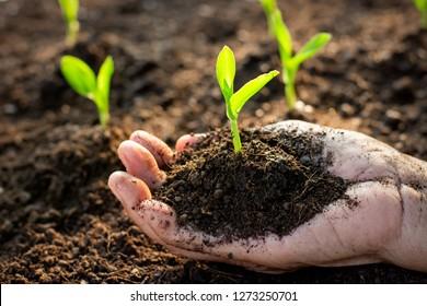 Corn seedlings are growing from fertile soil in the hands of farmers.
