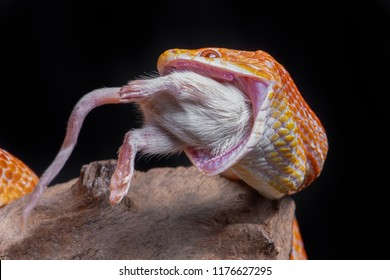 A corn snake feeding on a mouse, The snake has its jaws wide open and a white mouse is being eaten. It is set against a black background
