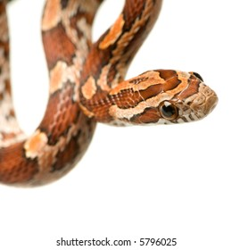 Corn Snake in front of a white background
