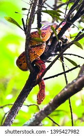 Corn snake hangs in a tree