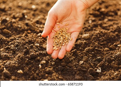Corn sowing by hand in home garden