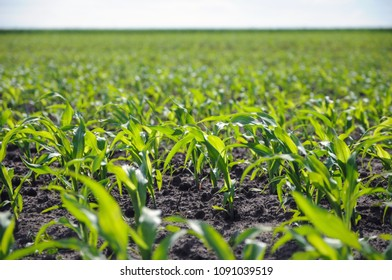 Corn sprouts growing on the field