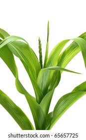 Corn stalk on white background.