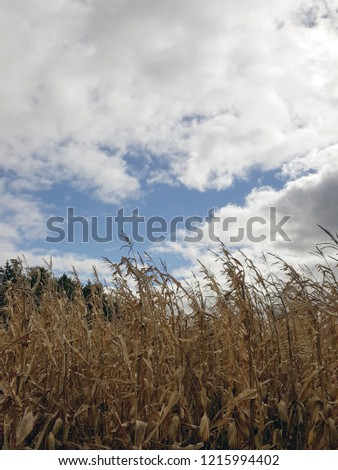 Corn stalks blowing in the wind with fluffy white clouds and a bright blue sky.