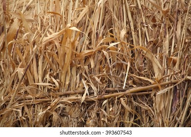 Corn straw as texture or background.