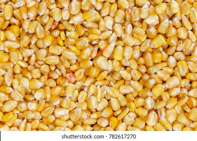 Corn texture. Yellow corns as background. Corn vegetable pattern. Background of bulk of yellow corn grains. Shiny corns. Sweet corn ears background