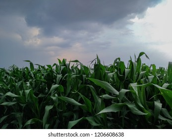 corn trees in the fields and could