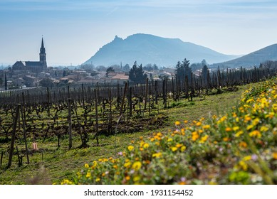 Cornas village with grapevines and yellow flowers on the foreground during spring season. France 2021