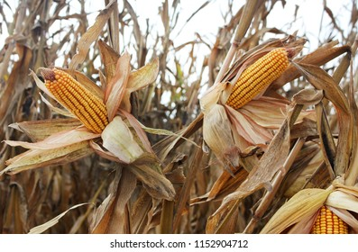 Corncob. A corn field during summer afternoon in rural