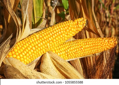 Corncob, Zea mays, fruits of autumn ready to reap