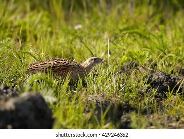 Corncrake, Crex crex, very shy rail, uncommon bird of european grasslands, carefully running over open space in meadow, springtime. Endangered specie in Europe, Czech republic.