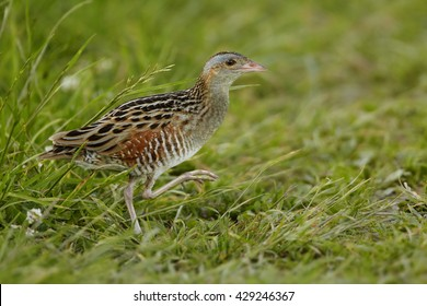 Corncrake, Crex crex, very shy rail , uncommon bird of european grasslands, carefully going over open space in meadow, springtime. Endangered specie in Europe, Czech republic.