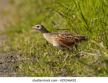 Corncrake, Crex crex, very shy rail, carefully walking from grass over open space in springtime. Endangered specie in Europe, Czech republic.