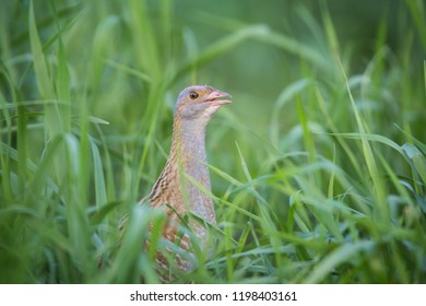 The corncrake in the Grass