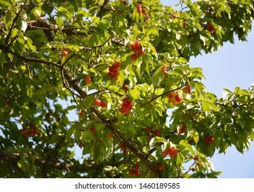 Cornel, Cornelian Cherry Dogwood. Cornel fruit. Fruits of a ripe dogwood on a tree Ripe red and unripe dogwood berries are hanging on a branch of dogwood tree.