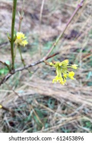 Cornelian Cherry Dogwood Flower