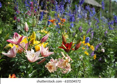 Corner of the garden with lily flowers in different colors.