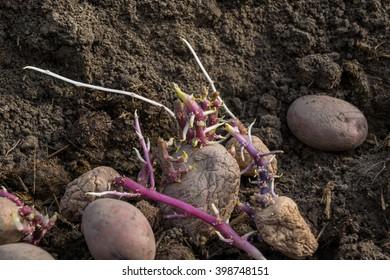 cornered potato in the ground