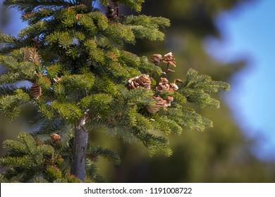 cornes of Siberian fir (Abies sibirica) in winter