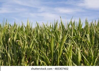 a cornfield in bavaria in summer