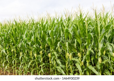 Cornfield close-up on sunny summer day. Agriculture, harvest and farm concept. Genetically modified and transgenic corn for export, produced in Mato Grosso, Brazil.