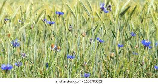 Cornfield with cornflowers