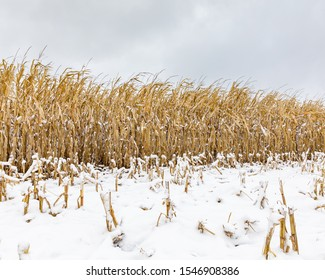 Cornfield with cornstalks and ears of corn covered in snow. An early winter snowstorm stopped the late crop harvest in central Illinois