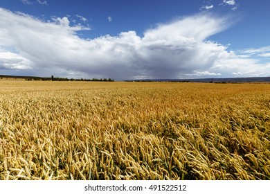 Cornfield in fine weather