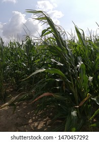 cornfield in a hot summer