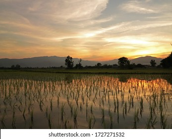Cornfield and the light of the evening sky