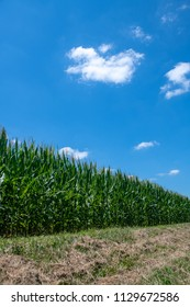 Cornfield in midwest United States with blue sky and clouds
