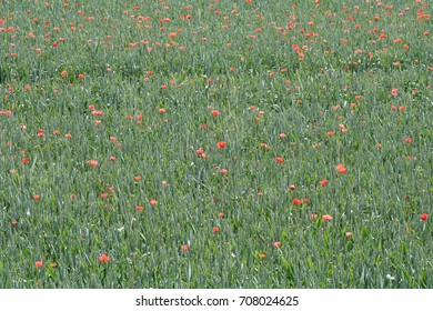 Cornfield with poppies, unadulterated and un-sprayed field infused with poppy flowers in Bavaria, Germany