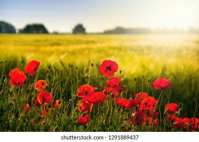 Cornfield with poppy in backlight