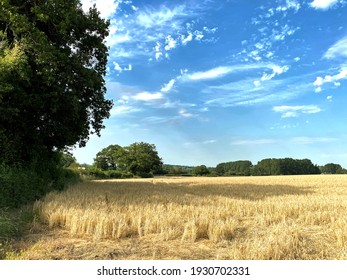 Cornfield, ready to be mown, with old trees, set against a blue sky near, Arthington, Leeds, UK