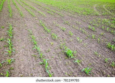 Cornfield. Small corn sprouts, field landscape. Loose soil and stalks of corn on the field