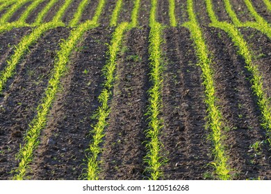 Cornfield in spring with rows of young corn plants, nature background