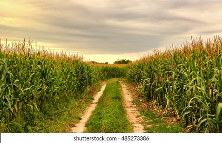 Cornfield in the summer landscape with road blue sky and beauty sun shining