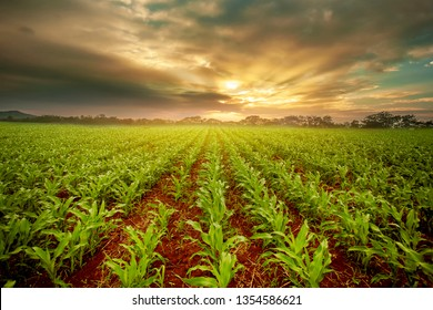 cornfield  at sunset ,lanscape of maize plant beuatyful sky