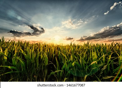 Cornfield in the Sunset - with Lense Flare Effect
