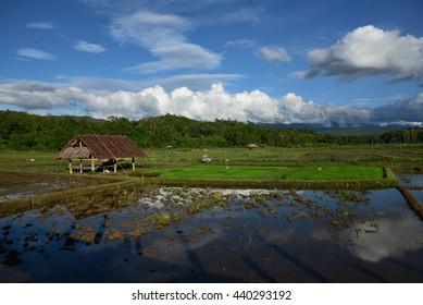 Cornfield Sutongpe