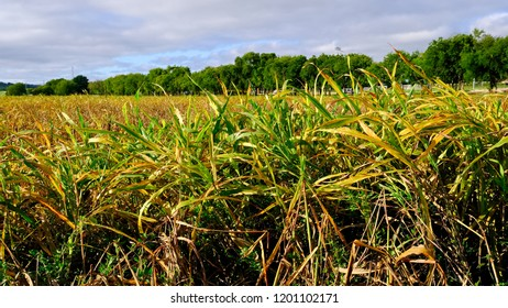 Cornfield that can be used as a background.